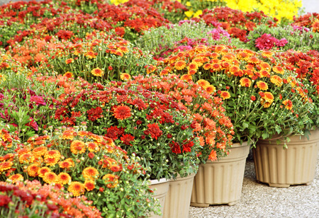 Fall Mums New Boston NH